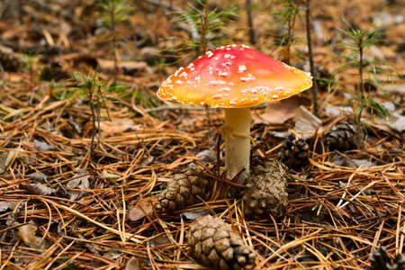Close-up picture of a Amanita poisonous mushroom in nature. Stock Photo