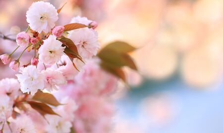 Flowers Japanese cherry on blurred background cherry blossoms.