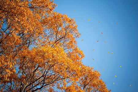 Autumn leaves falling from tree on background of blue sky. Stock Photo