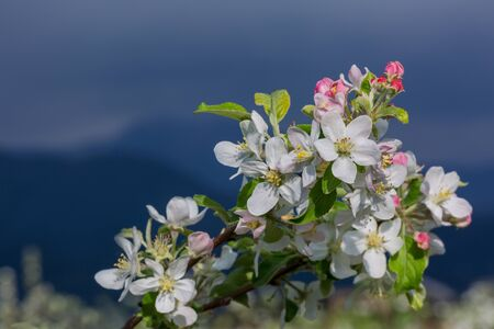Blooming apple tree against dramatic stormy sky.