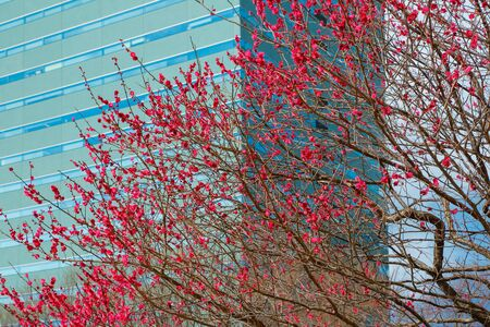 Plum blossom in Tokyo in february with blue sky and skyline in the background.