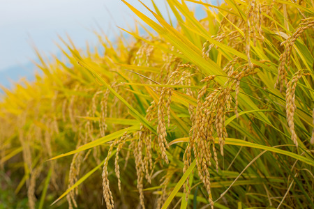 Paddy-field. Close-up. Imagens