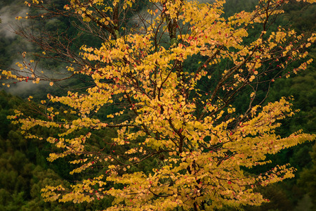 Single yellow picturesque autumn tree in mountains against backdrop of forest and fog.