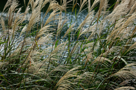 Autumn. Miscanthus against backdrop of river.