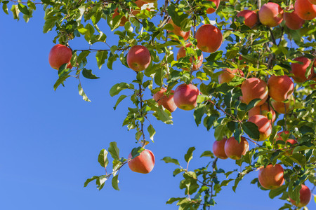 Red ripe delicious apples on the tree. Fuji apple variety.