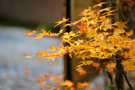 Yellow branches of Japanese maple in the wind.