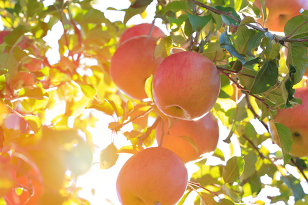 Sun's rays shine through leaves on ripe apples in orchard. Shallow depth of field. Banco de Imagens