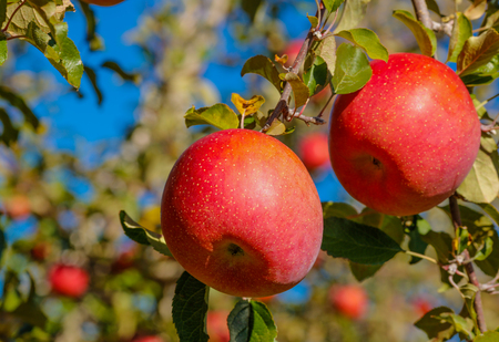 Fuji apple variety.Delicious apples with blue sky in the background.