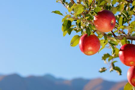Apples of the Fuji Banco de Imagens