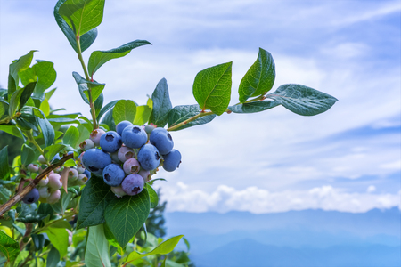 Blueberry Ripe with blueberry plantation in the background. Imagens