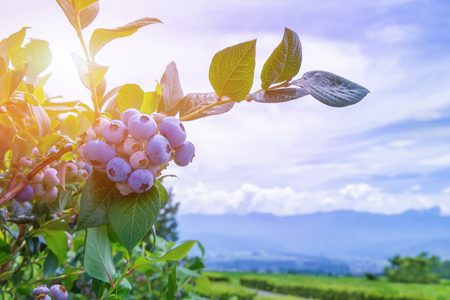 Sun's rays shine through leaves and ripe blueberries on the plantation. Banco de Imagens