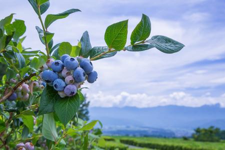 Ripe blueberries with blueberry plantation Banco de Imagens