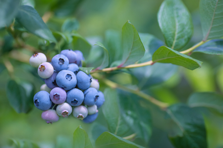 Ripe blueberries with blueberry plantation in the background. Stockfoto
