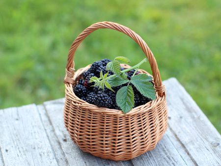 Fresh blackberries  in the small basket captured in sunny evening at the old garden bench.