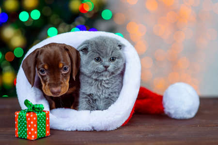 puppy Dachshund with a kitten on Christmas background Stock Photo