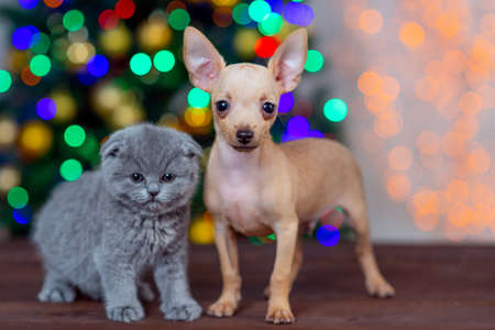 puppy of the toy Terrier with a kitten on the background of Christmas tree Foto de archivo