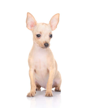 puppy of the toy Terrier on a white background