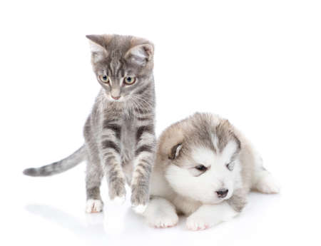 Striped kitten is jumping next to a malamute puppy. They look at the camera. Isolated on a white background