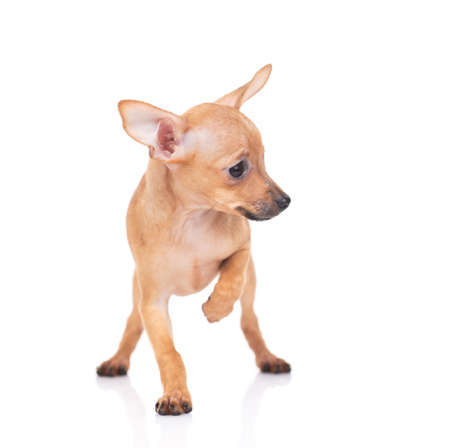 puppy of the toy Terrier on a white background Stock Photo