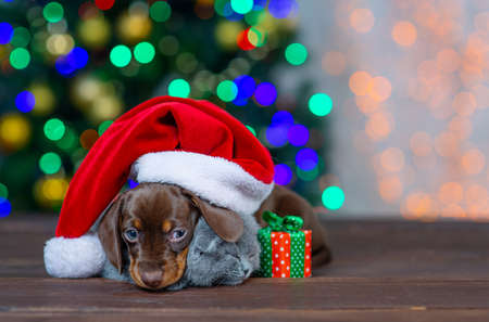 Dachshund puppy and british kitten sitting and hugging under a red Santa Claus hat against the background of a Christmas tree with a gift Stock Photo