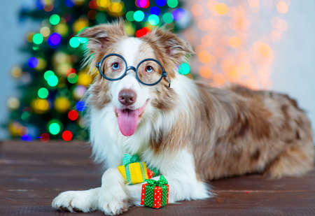 Border Collie dog in glasses lies near a Christmas tree with gifts in its paws