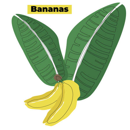 Set of bananas and banana leaves. Vector illustration isolated on white background. 向量圖像