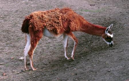 the lama: Lama guanicoe Stock Photo