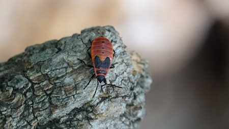Soldier bug on a tree