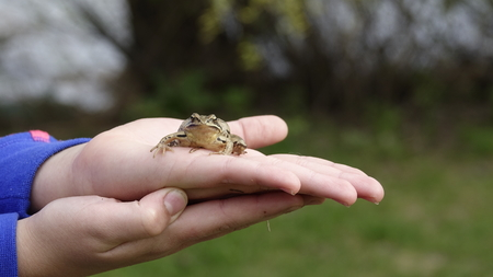 The girl is holding a frog Rana temporaria