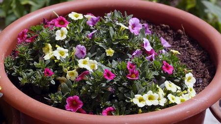 Multicolored flowers in a pot Reklamní fotografie