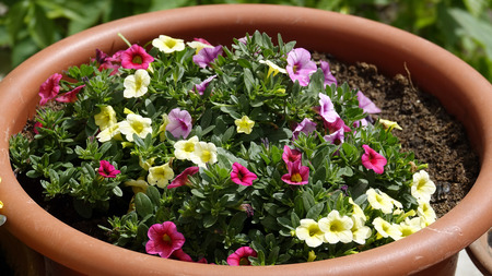 Multicolored flowers in a pot Stock Photo