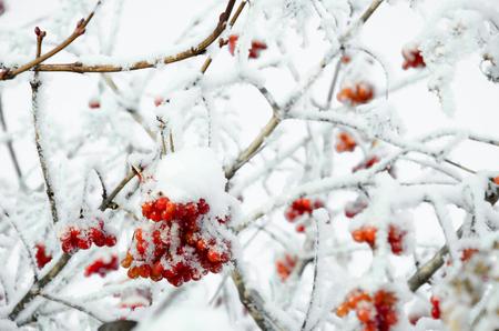 Rowan and rowanberry in winter