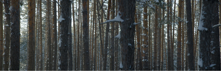 Snowy winter pine forest panorama