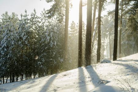 Winter pine forest