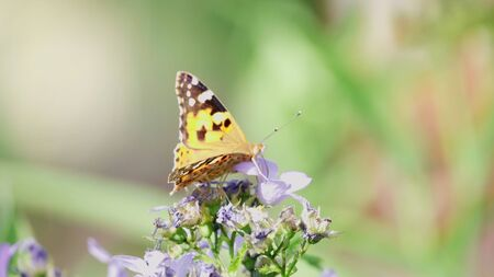 butterfly pollinates a purple flower