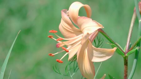 orange lily close up