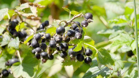 black currant on a branch Banque d'images