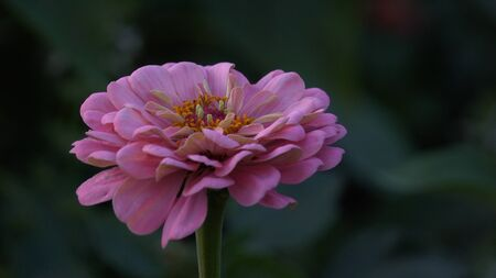 pink flower sways in the wind Banque d'images