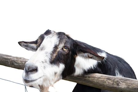 Portrait of a goat isolated on a white background. Focus on the head of a black and white goat in the petting zoo. Stock Photo