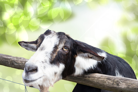 Portrait of a goat in front of abstract natural green background. Focus on the head of a black and white goat in the petting zoo.