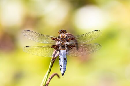 Dragonfly background. Closeup of Broad-bodied chaser dragonfly male (Libellula depressa) with large transparent wings and light blue body sitting on reed leaf at pond. Macro of insect. 写真素材