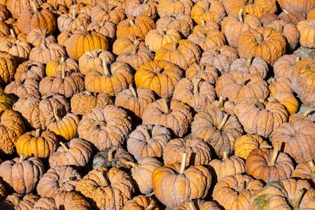 Pumpkin on market. A large collection of colorful pumkins or gourds on market on a sunny autumn day. Beautiful background for natural health and nutrition concept. Zdjęcie Seryjne