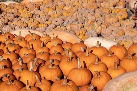 Pumpkin on market. A large collection of colorful pumkins or gourds on market on a sunny autumn day. Beautiful background for natural health and nutrition concept. Stock Photo
