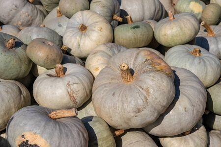Pumpkin on market. A large collection of Lumina pumpkins or gourds on market on a sunny autumn day. Beautiful background for natural health and nutrition concept.