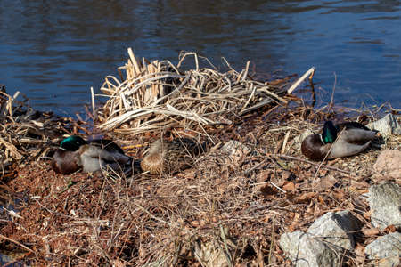 A relaxed duck couple sleeping on the shore of a lake and enjoy the first warm hours of sunshine in March. Macro.