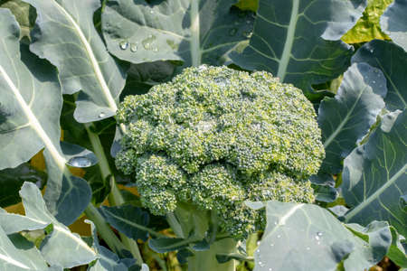 Broccoli plants. Close-up of young fresh organic broccoli waiting to be harvested on vegetable garden. Concept of healthy food, self-supply and organic gardening. Macro. Banco de Imagens