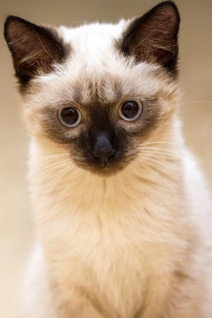 a little fluffy blue eyed siamese kitten sitting stock photo