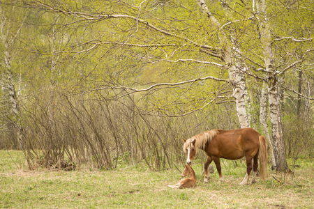 mare and foal: Mare and foal on a green meadow in the forest