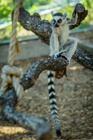monkies: monkey lemur with striped tail sitting on a branch Stock Photo