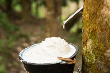 juice of rubber trees to collect for the production of rubber Banque d'images